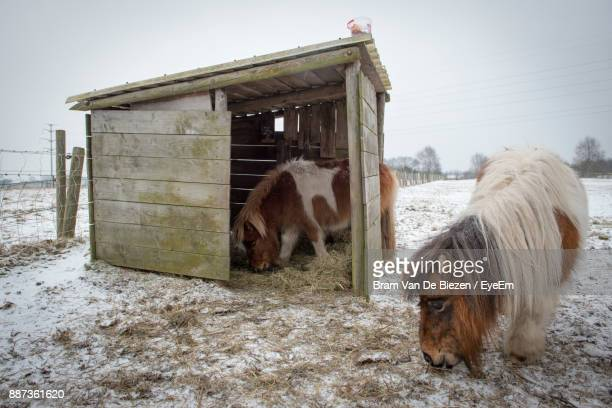 icelandic horses on snow field during winter - two animals stock pictures, royalty-free photos & images