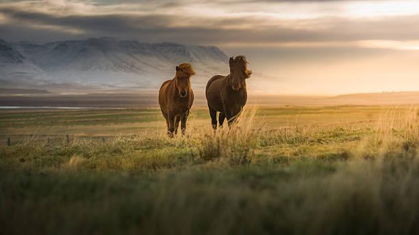 Icelandic Horses On The Field Wall Art