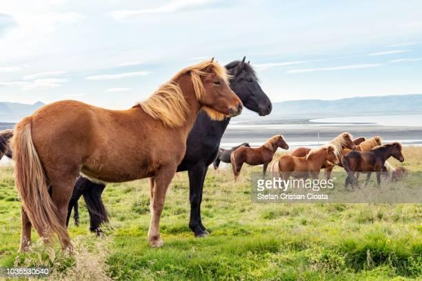 icelandic horses - cristian neri foto e immagini stock
