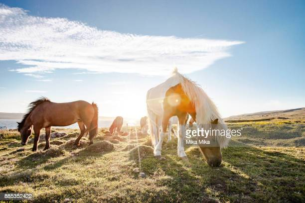 icelandic horses - gras stock pictures, royalty-free photos & images