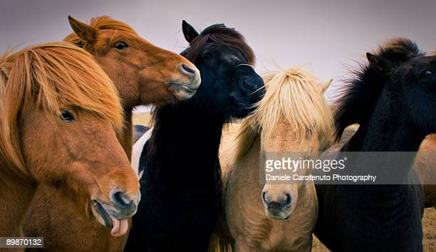 icelandic horses - daniele carotenuto stock pictures, royalty-free photos & images
