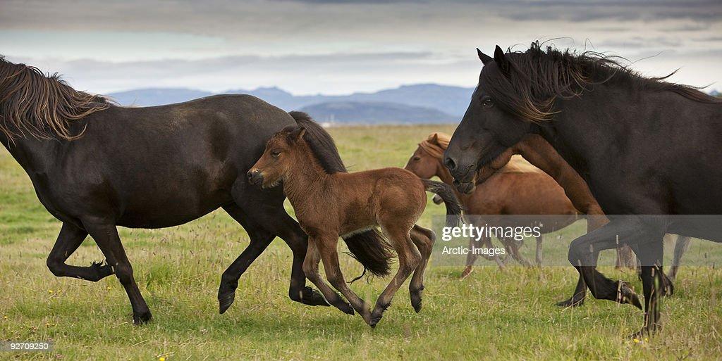 Icelandic horses  : Stock Photo