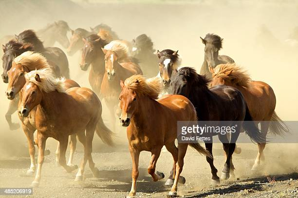 icelandic horses running - horses running stock pictures, royalty-free photos & images