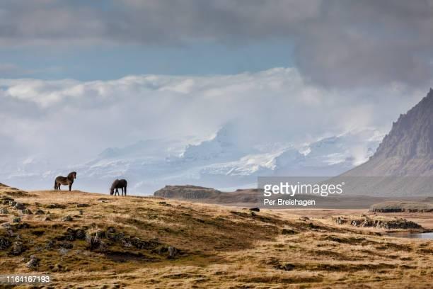 icelandic horses_iceland - wildnis stock-fotos und bilder