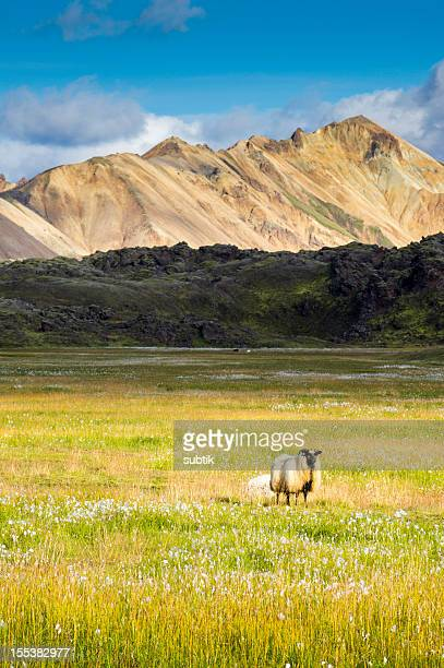 icelandic landscape - icelandic sheep stock photos and pictures