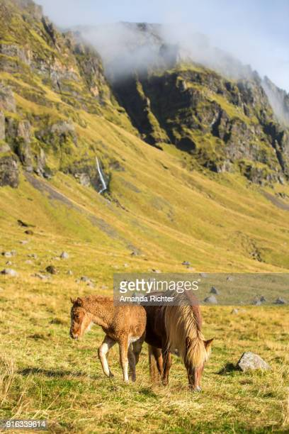 Icelandic Mare and Foal Grazing