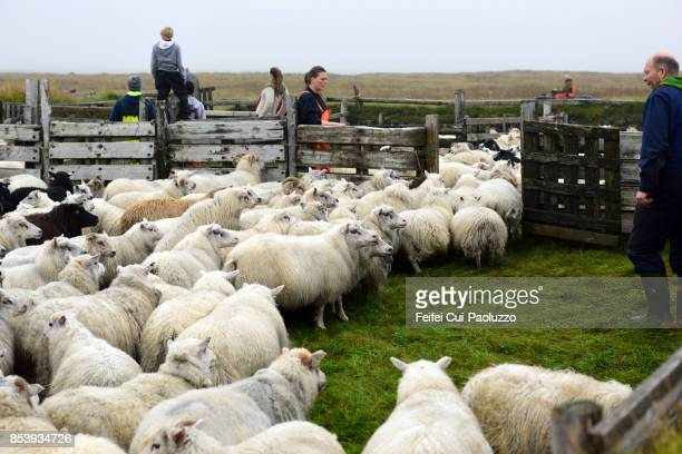 icelandic people trying to resort the sheep at alftaver, south coast iceland - icelandic sheep stock photos and pictures