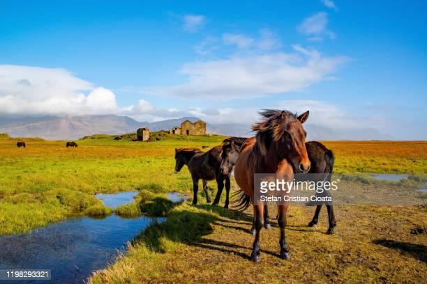 icelandic ponies (horses) in the countryside in iceland - países del golfo fotografías e imágenes de stock
