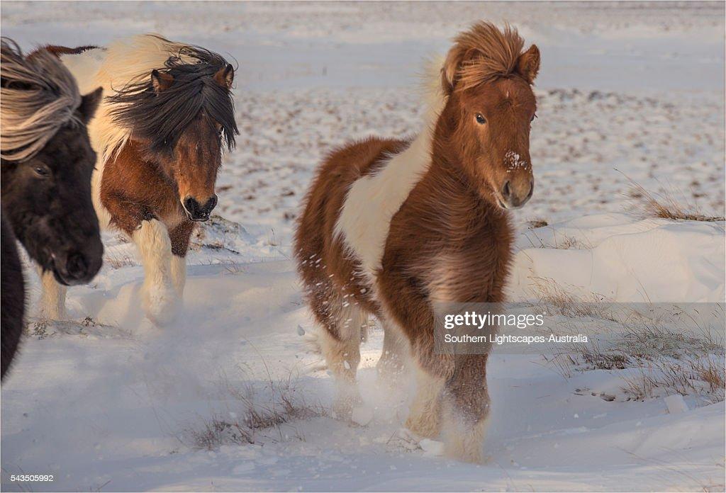 icelandic ponies running free at budardalur northwest iceland stock