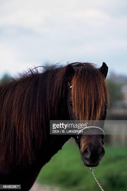 Icelandic pony foals Equidae