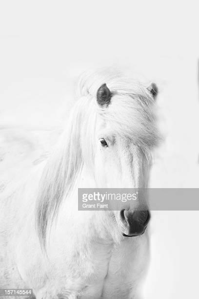 Icelandic pony in white.