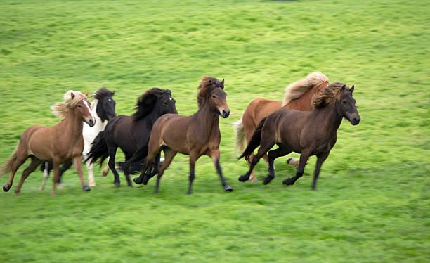 Icelandic Pony. Wall Art