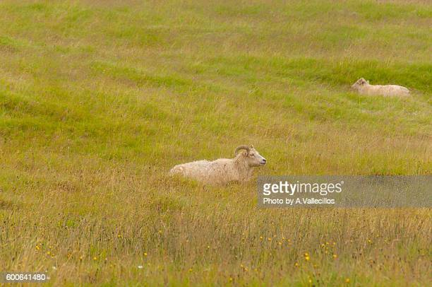 icelandic sheep eating and resting - icelandic sheep stock photos and pictures