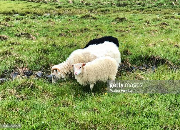 icelandic sheep - ewe and two lambs - icelandic sheep stock photos and pictures