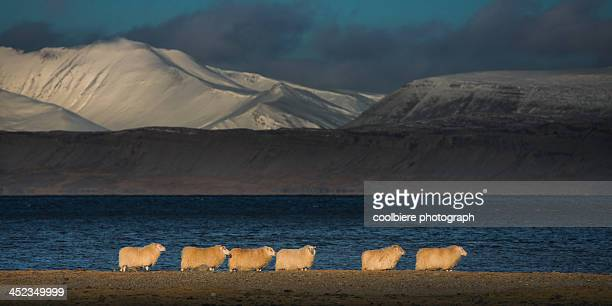icelandic sheep herd on a grassland - icelandic sheep stock photos and pictures