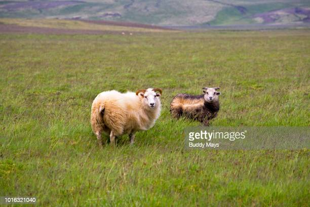 icelandic sheep in a pasture in iceland - icelandic sheep stock photos and pictures