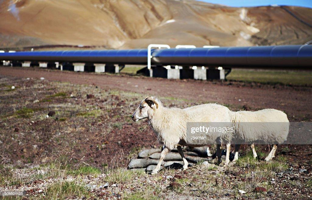 Islandés ovejas en prado : Foto de stock