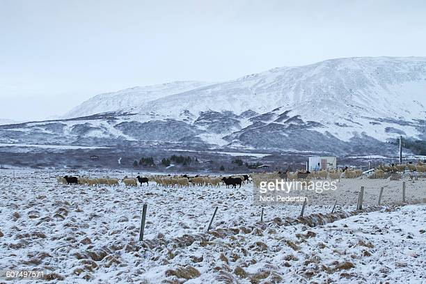 icelandic sheep in snow - icelandic sheep stock photos and pictures
