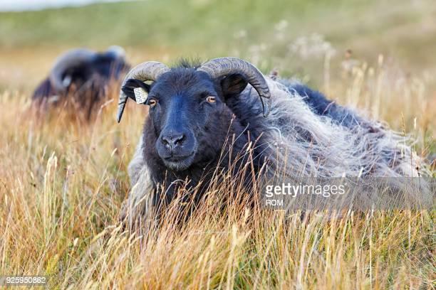 icelandic sheep (ovis), myvatni, iceland - einzelnes tier stock-fotos und bilder