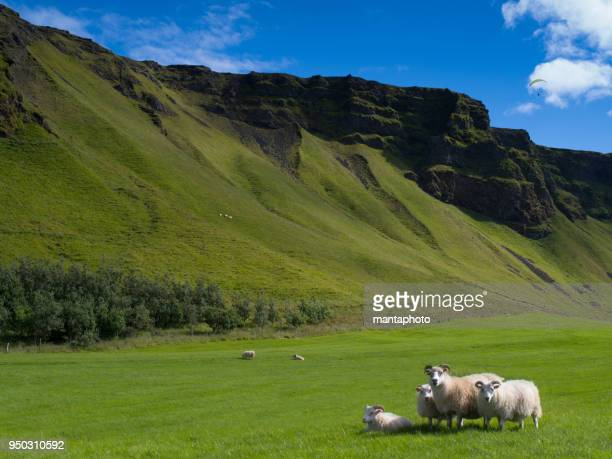 icelandic sheep on the meadow - icelandic sheep stock photos and pictures