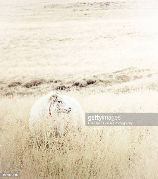icelandic sheep - lise ulrich stock pictures, royalty-free photos & images