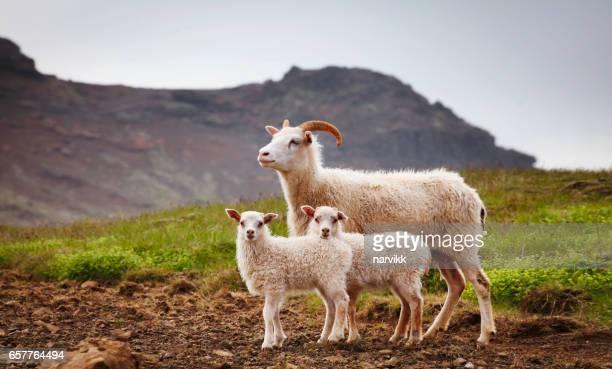 Islandés oveja