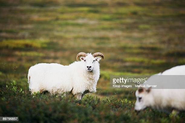 icelandic sheep - icelandic sheep stock photos and pictures