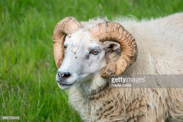 icelandic sheep, portrait, iceland - icelandic sheep stock photos and pictures