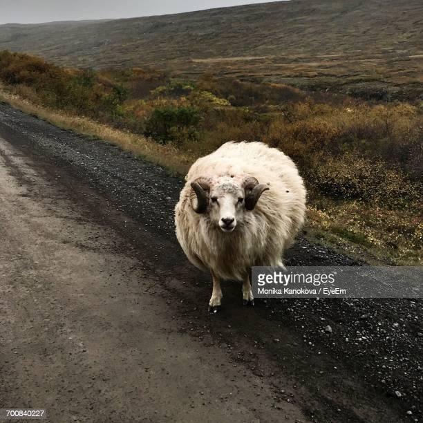 icelandic sheep standing on field - icelandic sheep stock photos and pictures