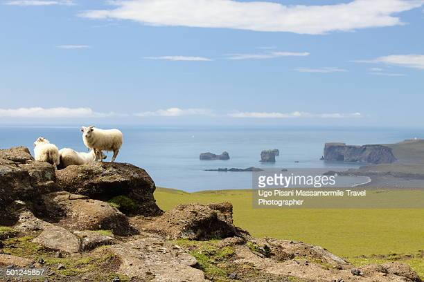 icelandic sheep with cliff - icelandic sheep stock photos and pictures