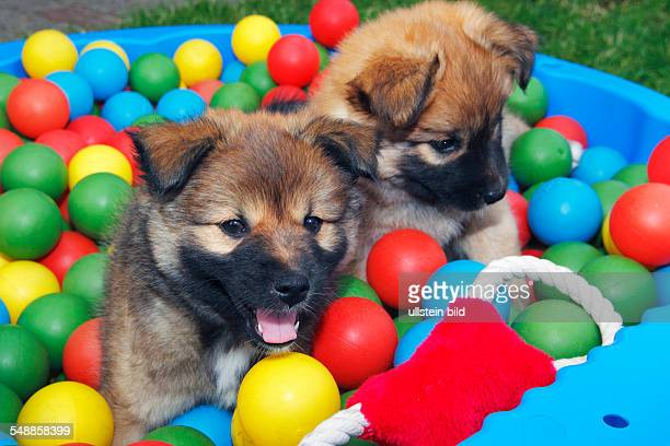 Icelandic sheepdogs puppies playing with coloured balls