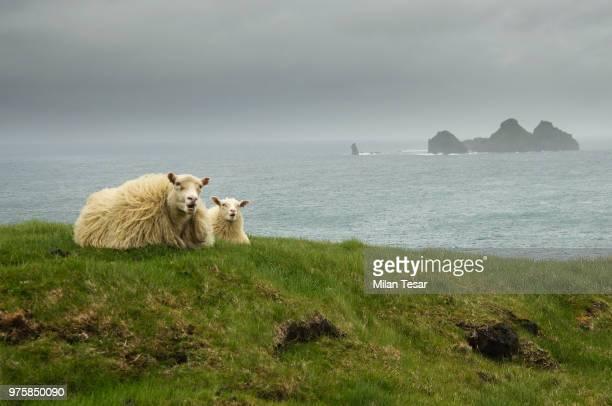 icelandic sheep&lamb - icelandic sheep stock photos and pictures