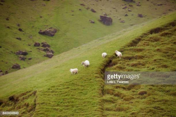 icelandic sheeps walking free - icelandic sheep stock photos and pictures