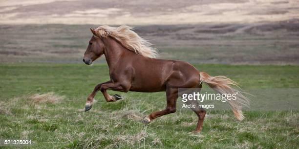 Icelandic Stallion running, Iceland