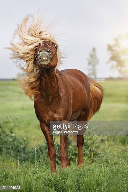Icelandic Stallion with a very long and thick mane