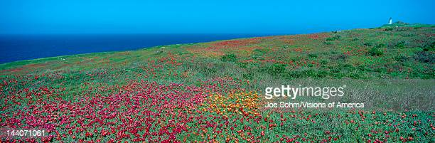 Iceplant and coreopsis on Anacapa Island Channel Islands California