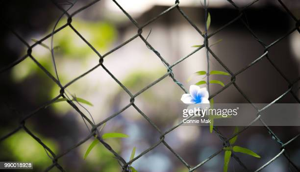 icey flower! - chainlink fence stock pictures, royalty-free photos & images