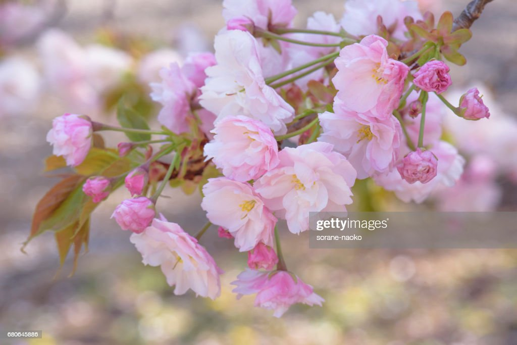 """""""Ichiyo"""" Flowering Cherry : Stock Photo"""