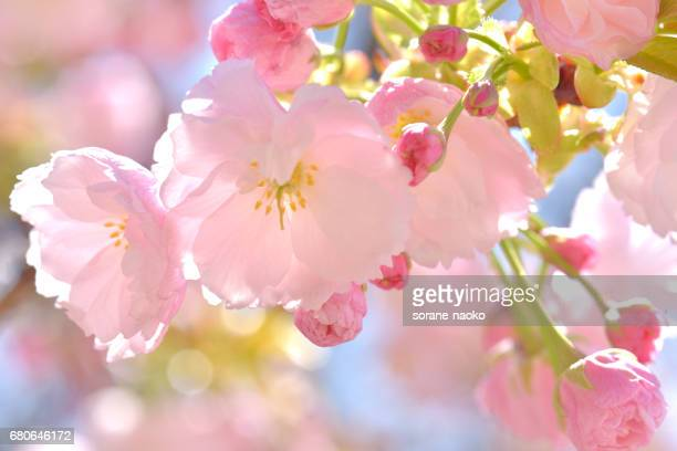 """Ichiyo"" Flowering Cherry"