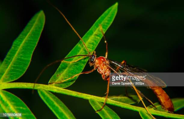 ichneumon wasp (ophion luteus) - african wasp stock pictures, royalty-free photos & images