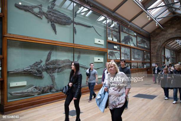 Ichthyosaur fossils at the Natural History Museum in London England United Kingdom Ichthyosaurus is a genus of ichthyosaurs from the late Triassic...