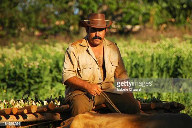 Ici pousse l'un des meilleurs tabacs du monde, celui dont on fait les puros, les havanes. Un tabac cultivé par des guajiros poussant la charrue...
