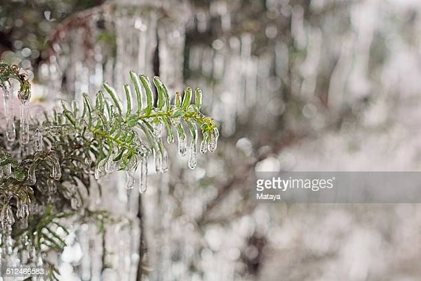 icicled yew tree - sleet stock photos and pictures