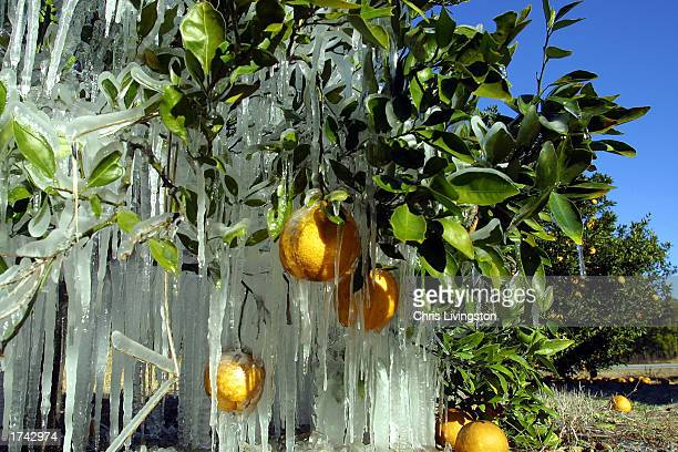 Icicles cover oranges at an orange grove January 24 2003 in Lake Jem Florida The sheets of ice keep the plants at a constant 32 degrees Fahrenheit...