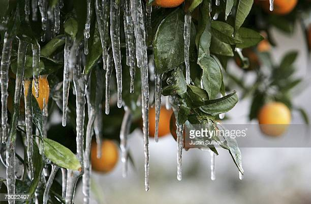 Icicles created by drip irrigation are illuminated by a cars headlights as they hang from an orange tree January 17 2007 in Orange Cove California...