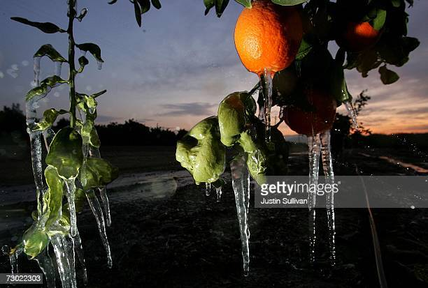 Icicles created by drip irrigation hang from an orange tree January 17 2007 in Orange Cove California California governor Arnold Schwarzenegger...