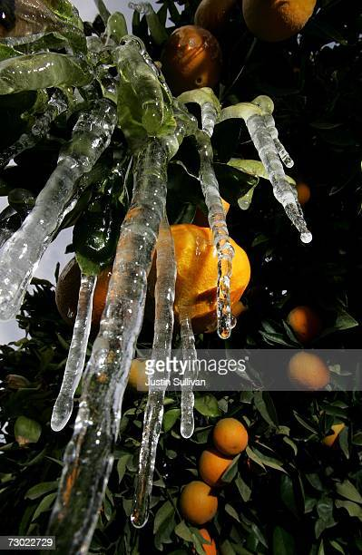 Icicles created by drip irrigation hang from an orange tree January 17 2007 in Fresno California California governor Arnold Schwarzenegger declared a...