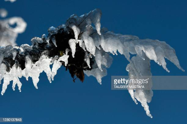 Icicles hang from a tree in near Yusmarg, some 55 Km from Srinagar on December 15, 2020.