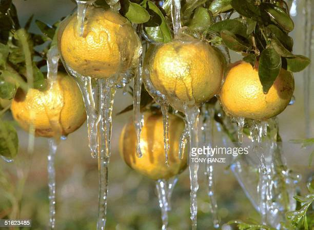 Icicles hang from oranges in Lakeland FL early 06 January after citrus growers used water sprinklers to protect citrus tress from damage caused when...