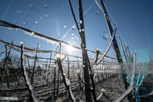 Icicles hang on apple trees in a plantation after they were artificially spread with water the village of Boennigheim, southern Germany, on March 26,...